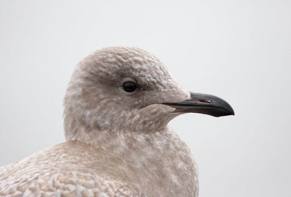 Thayer's Gull. Wisconsin