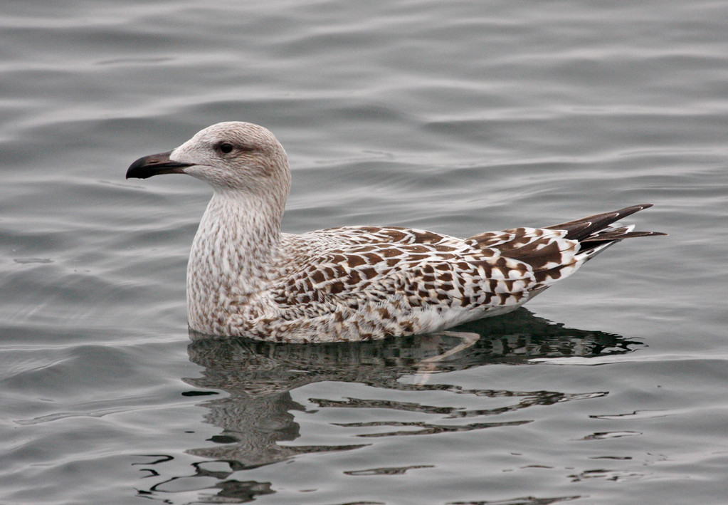 Great Black-backed Gull (juvenile). Minnesota