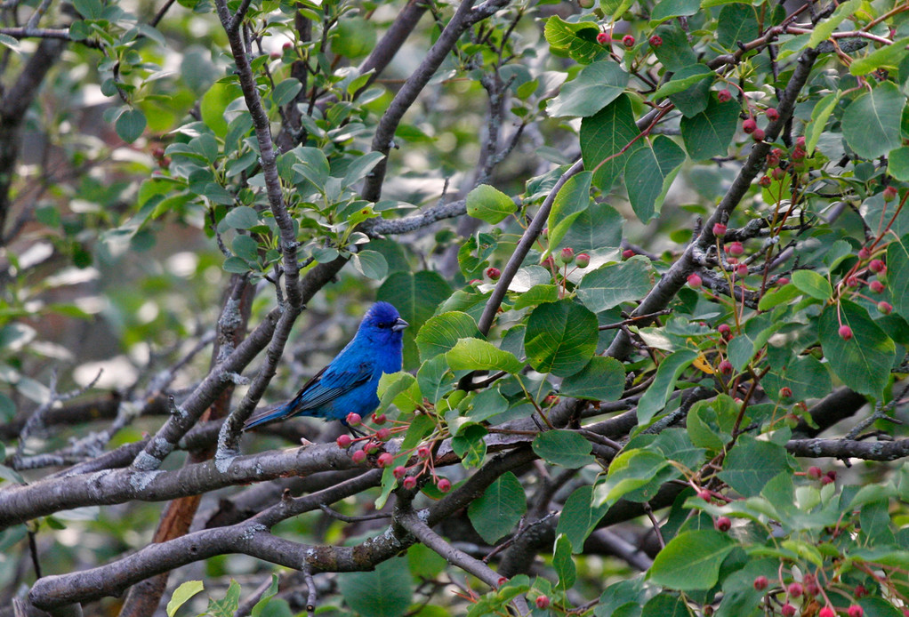Indigo Bunting (adult male). Minnesota