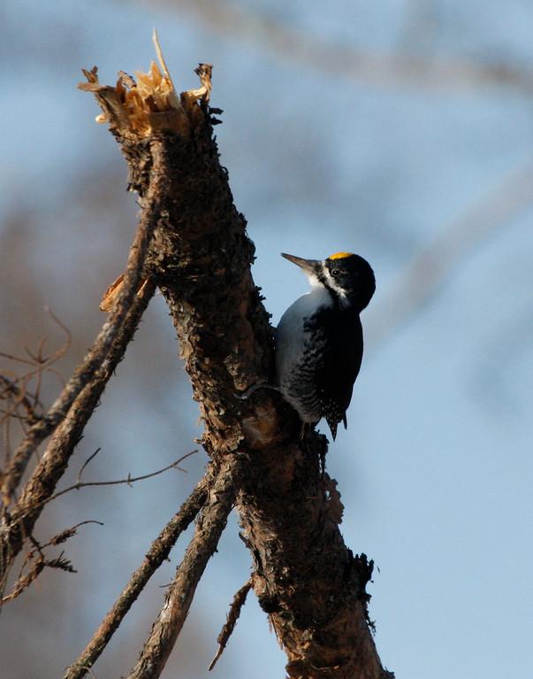 Black-backed Woodpecker (adult male). Minnesota
