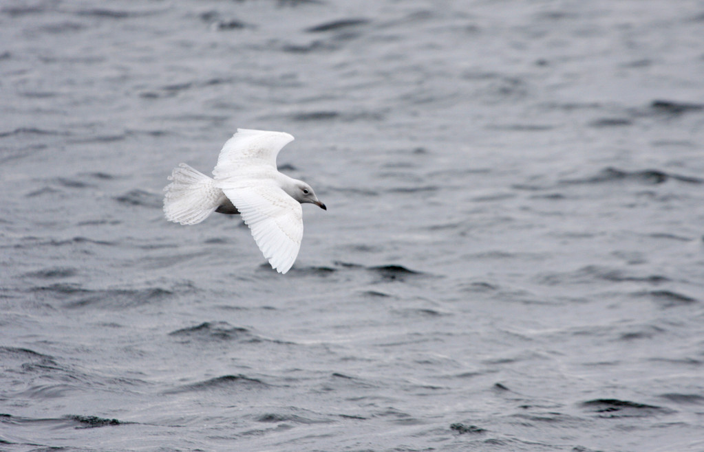 Iceland Gull. Minnesota