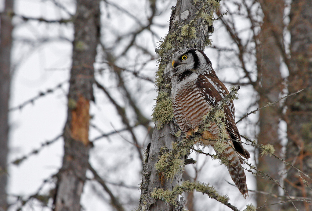 Northern Hawk Owl. Minnesota