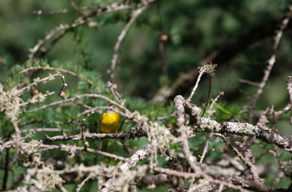 Nashville Warbler (adult male). Minnesota