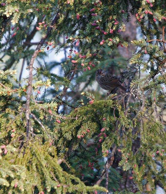 Lincoln's Sparrow. Minnesota