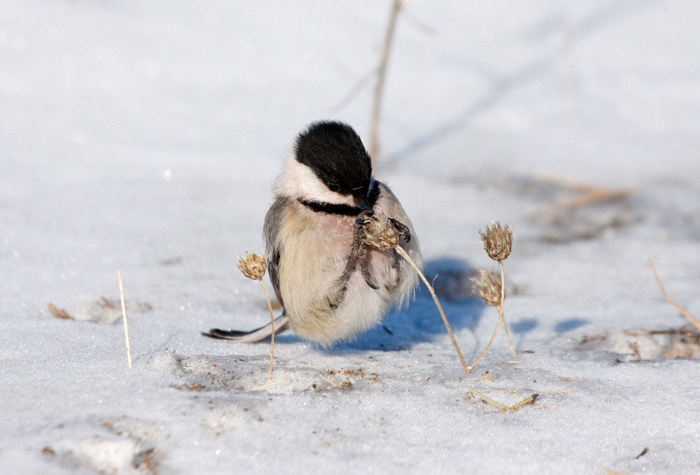Black-capped Chickadee, tail-propping in -30F windchill