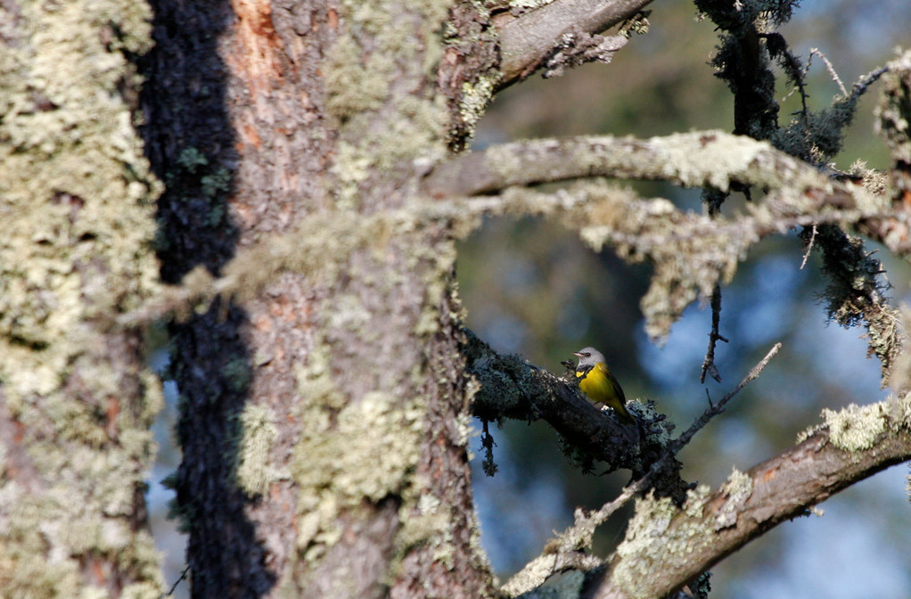 Mourning Warbler (adult male). Minnesota