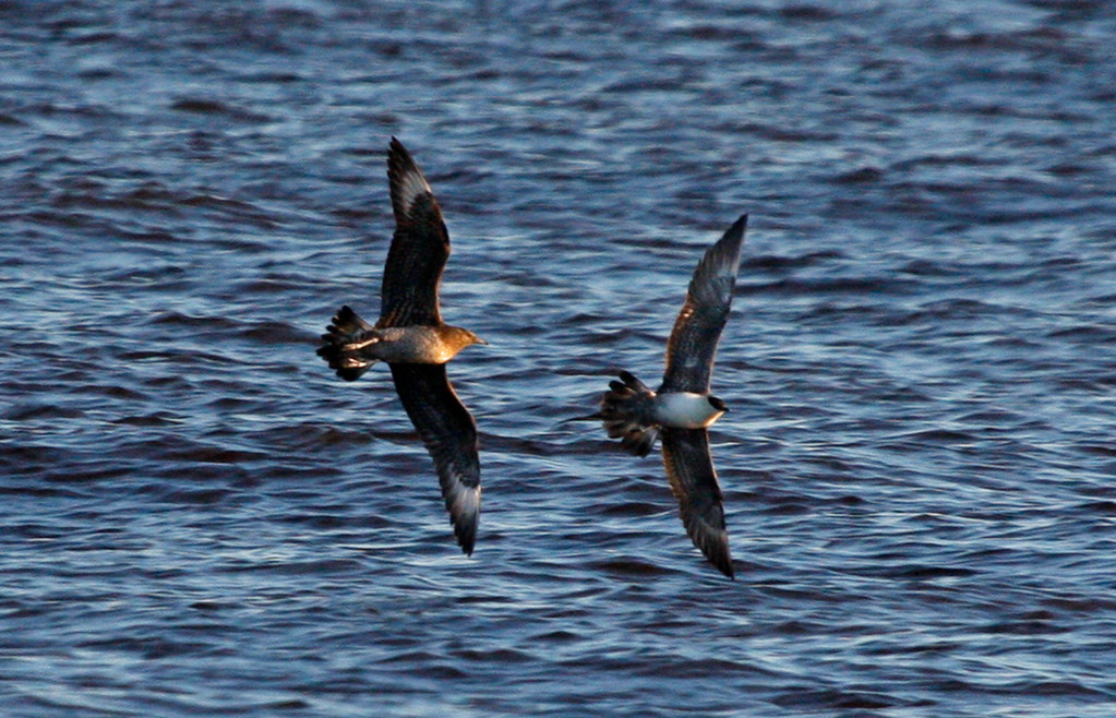 Parasitic Jaeger (juvenile light morph, left) chasing Long-tailed Jaeger (sub-adult light morph, right). Wisconsin