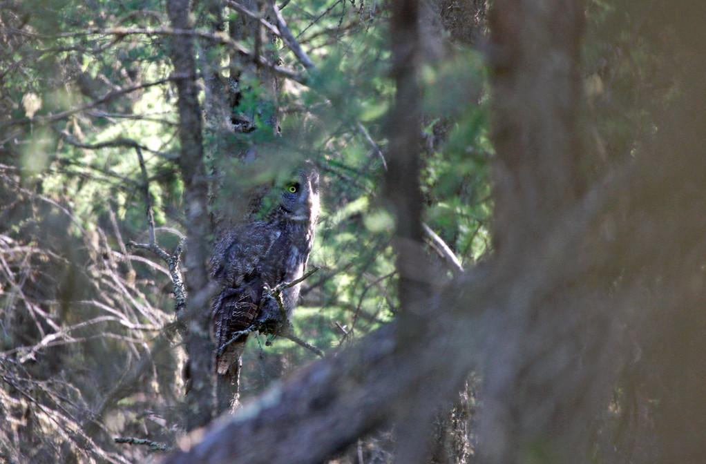 Great Gray Owl. Minnesota