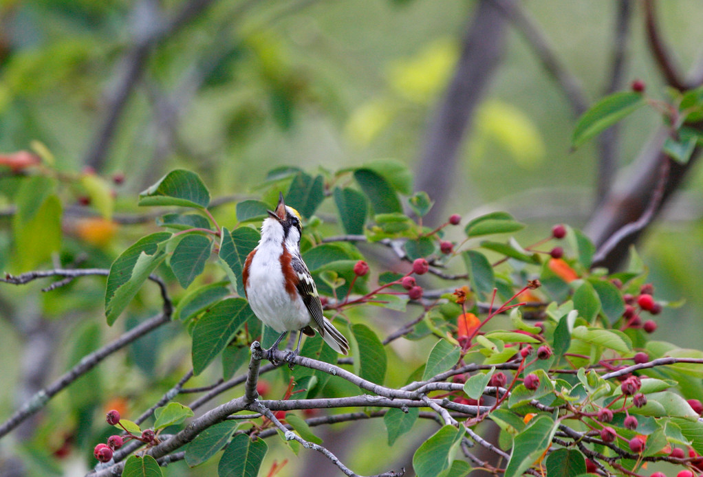 Chestnut-sided Warbler. Minnesota