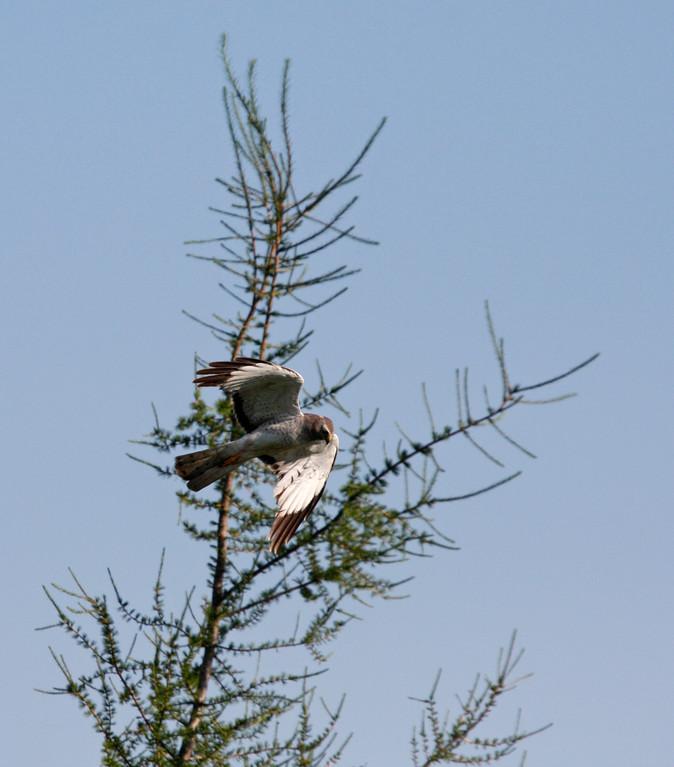 Northern Harrier (adult male). Minnesota