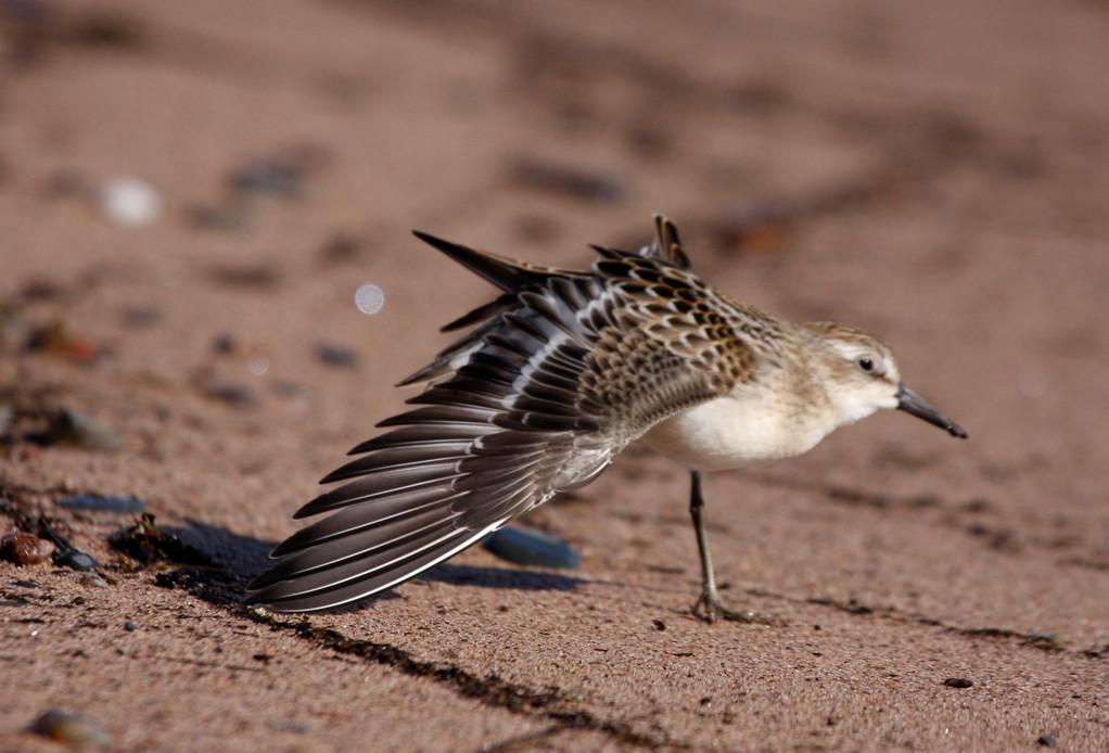 Semipalmated Sandpiper. Minnesota
