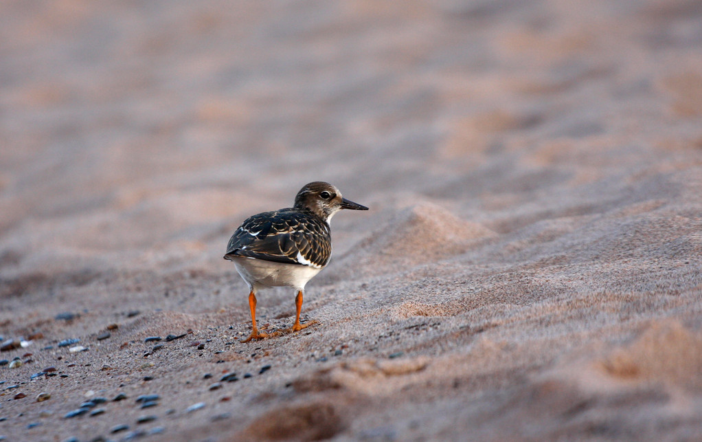Ruddy Turnstone. Minnesota