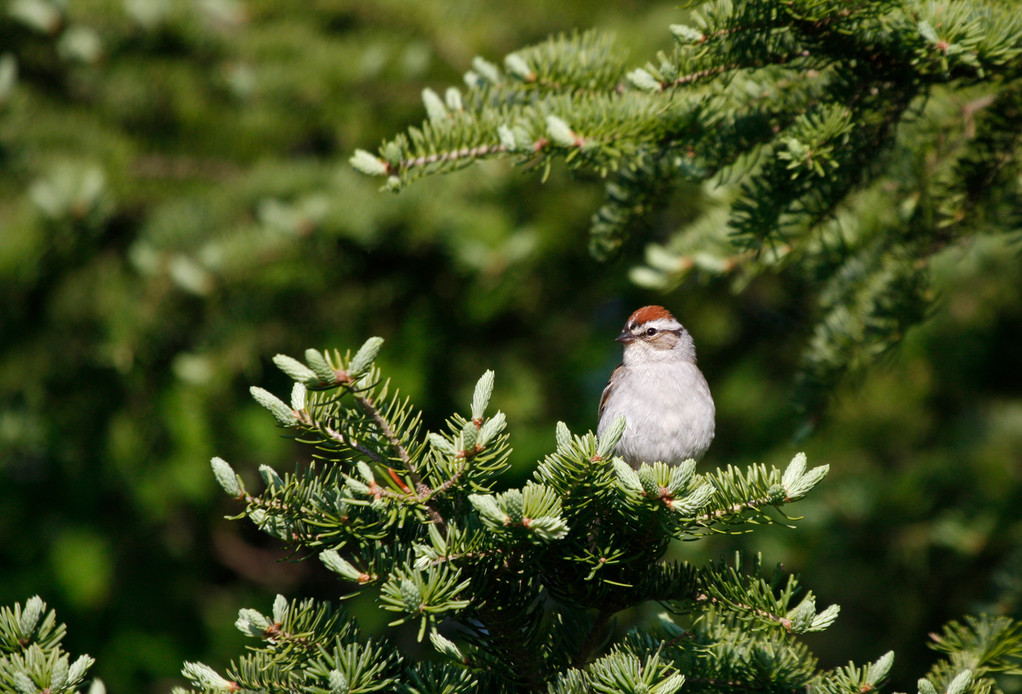 Chipping Sparrow. Minnesota