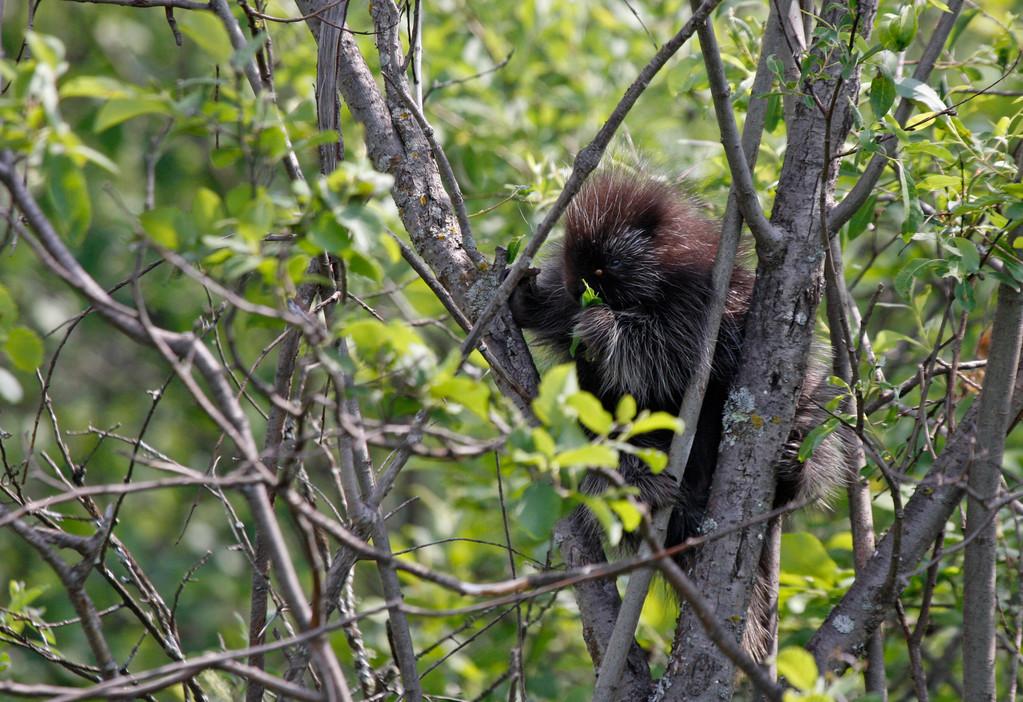 Porcupine. Minnesota