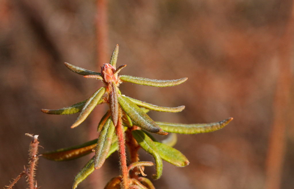 Labrador Tea. Minnesota