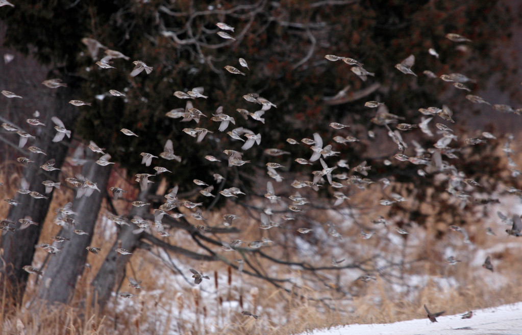 Flurry of Common Redpolls