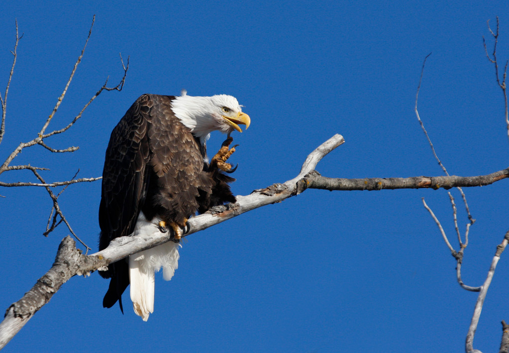 Bald Eagle (adult). Minnesota