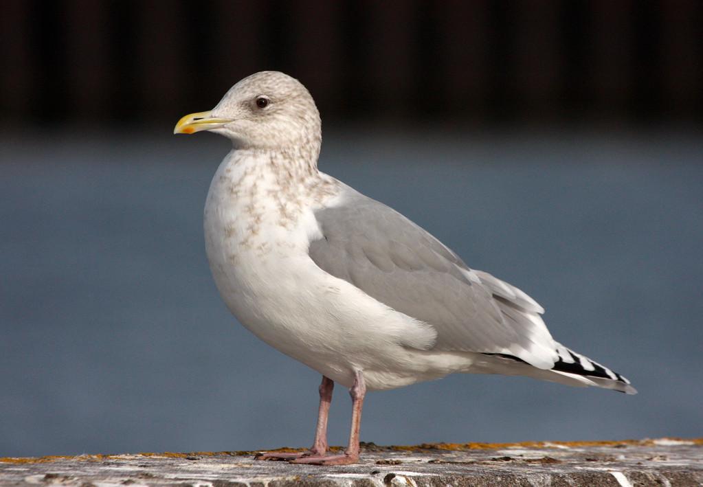 Thayer's Gull (adult). Minnesota