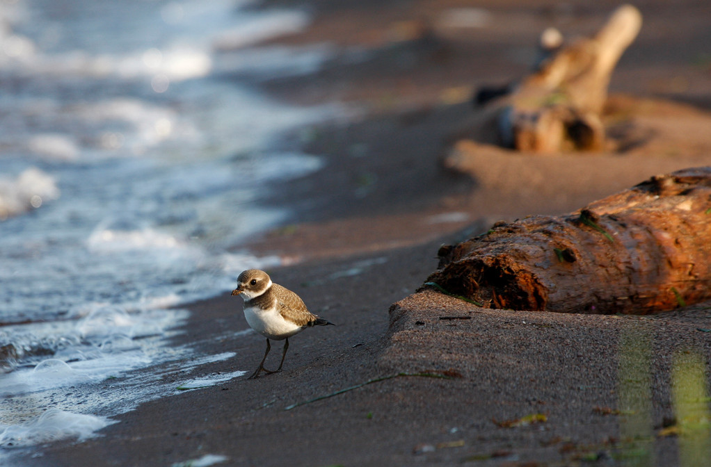 Semipalmated Plover. Minnesota