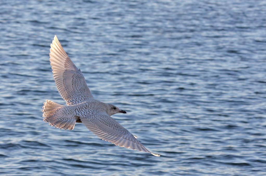 Kumlien's Gull. Wisconsin