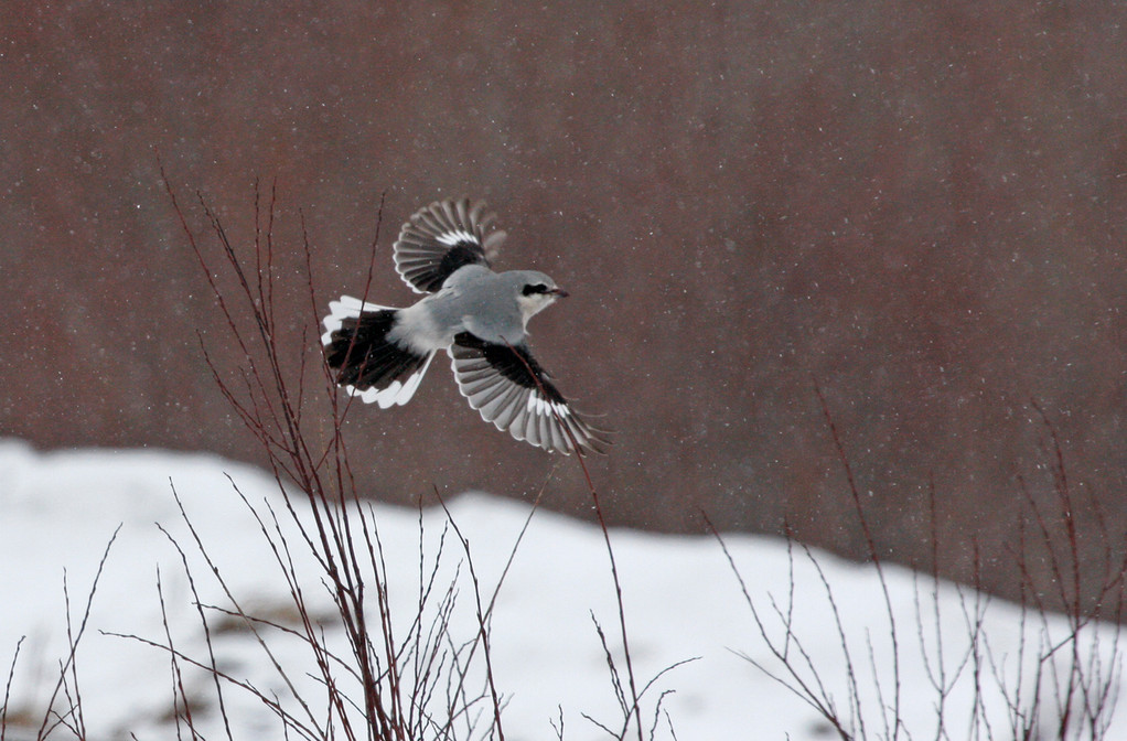 Northern Shrike. Minnesota