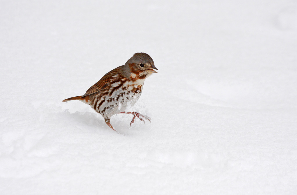 Fox Sparrow. Minnesota