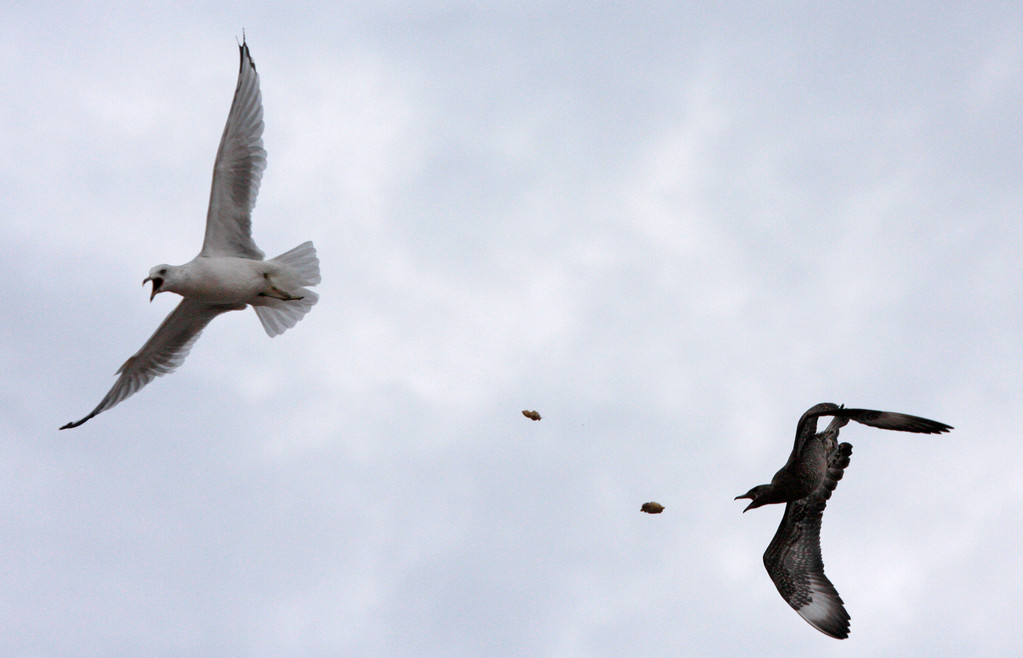 Parasitic Jaeger chasing a Ring-billed Gull