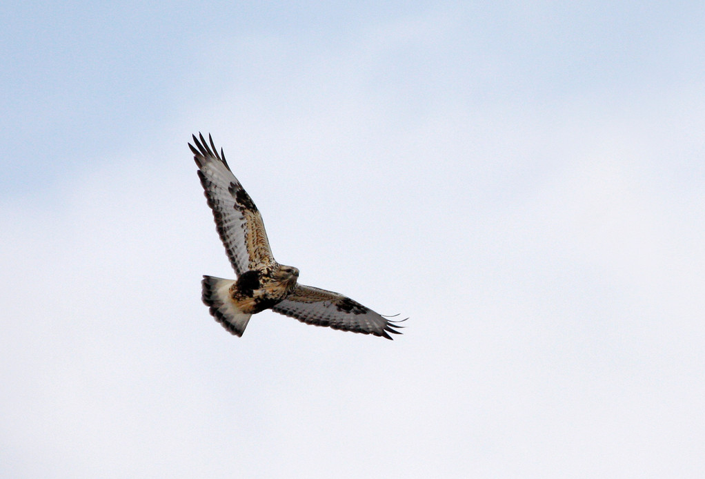 Rough-legged Hawk. Minnesota