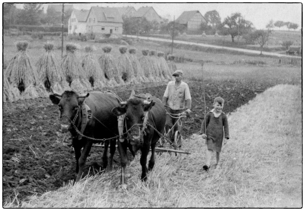 Kuhespann beim pflügen um 1950