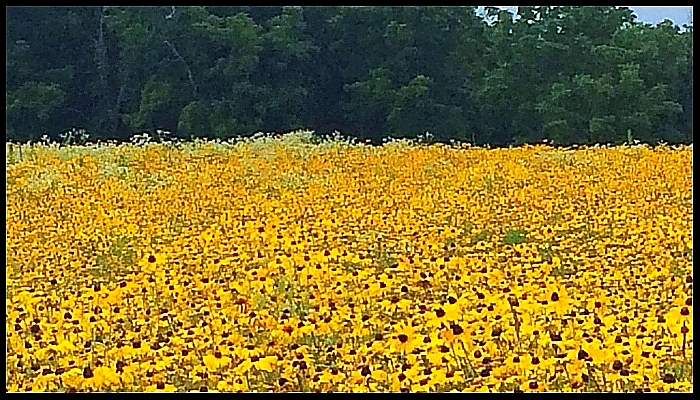 Beautiful Black-Eyed Susans in Maryland