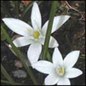 Star of Betlehem-Flores de Bach