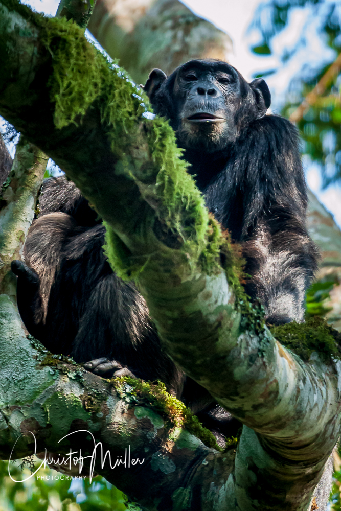 Male Chimpanzee (Pan troglodytes) having some rest on a tree.