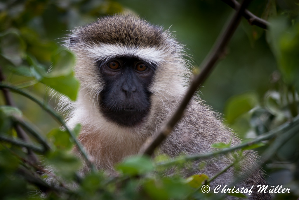 Portrait of a Vervet Monkey ( (Chlorocebus pygerythrus) in Uganda at the Source of the Nile