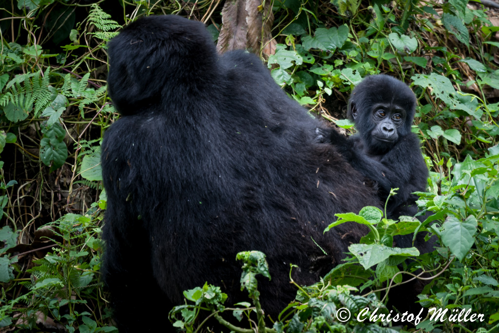 Mountain Gorilla mother avoiding the eye to eye contact convinced that you are not able to see her baby (Uganda)