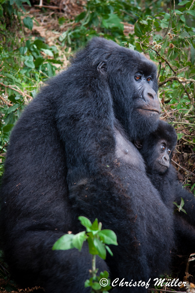 Mother and baby in embrace - Mountain Gorillas in Uganda in Bwindi Impenetrable National Park