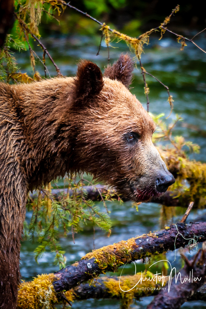 Young Grizzly Bear waiting for an opportunity to catch salmon.