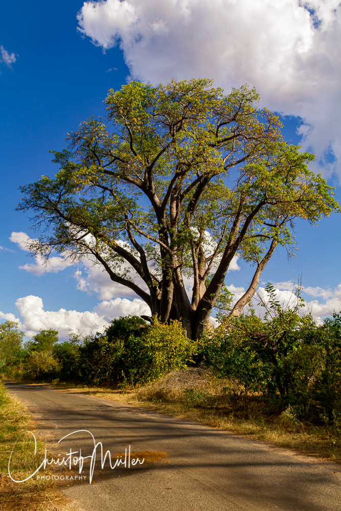 Boabab tree along the road, close to the town of Victoria Falls