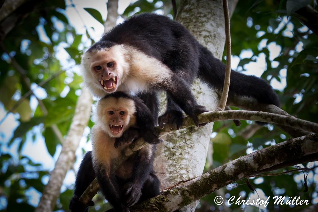 Capuchin Monkey (Costa Rica)