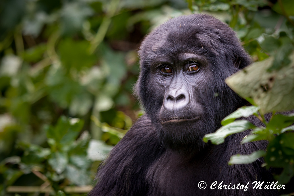Portrait of a female Mountain Gorilla (Uganda in Bwindi Impenetrable National Park)