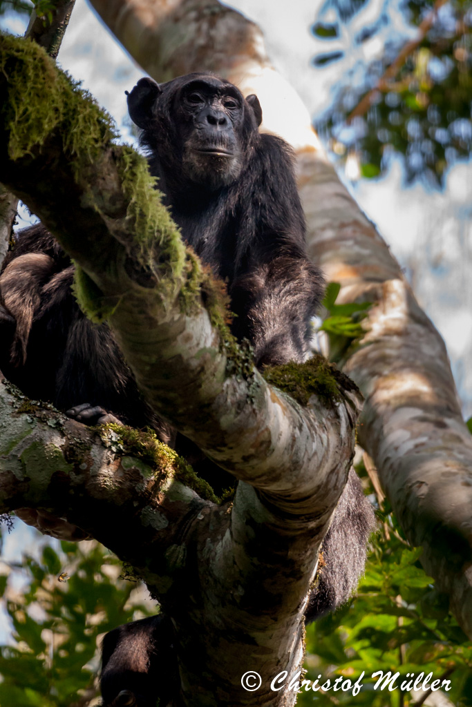 Wild Chimpanzee are an endangered species in Africa (Kibale National Forest, Uganda)