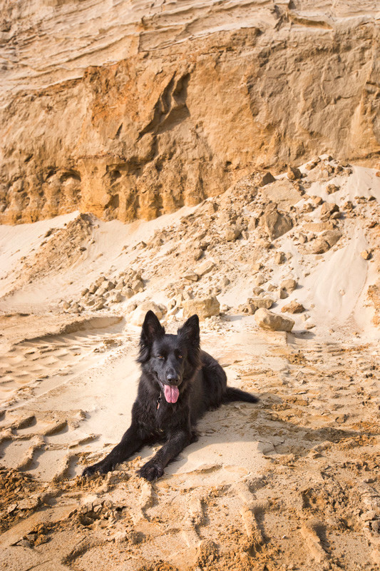 Schäferhund, schwarz