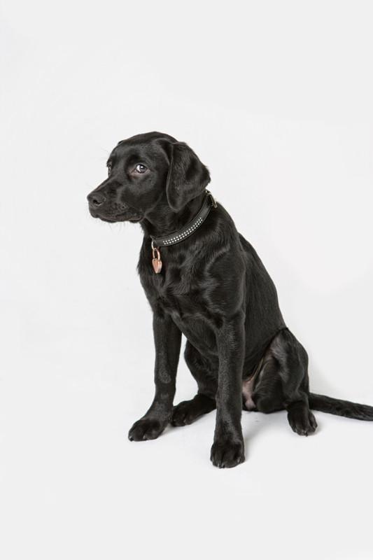 Labrador, schwarz