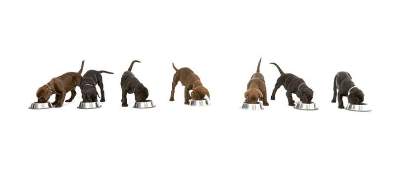 Hundewelpen, Labrador