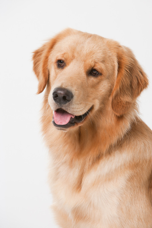 Labrador, blond