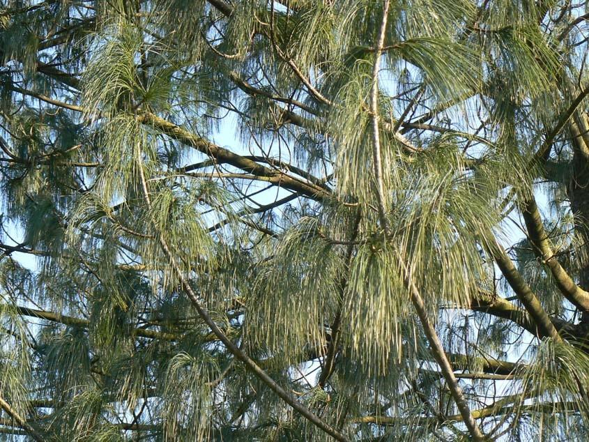 Les aiguilles d'un pin de l'Himalaya scintillent au soleil