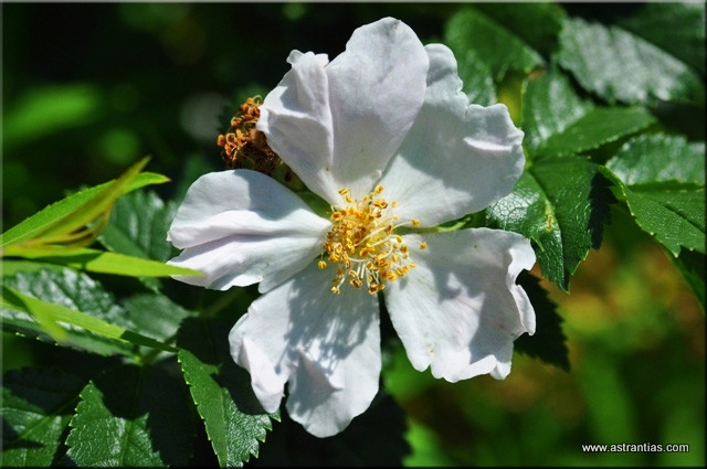 Rosa agrestis - Rosa sepium -  Acker-Rose - Rosier agreste - Rosa delle siepi - Wildrosen - Wildsträucher - Heckensträucher - Artenvielfalt - Ökologie - Biodiversität - Wildrose