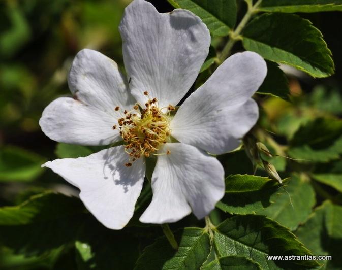 Rosa abietina - Tannen-Rose - Rosier des sapins - Rosa degli abeti - Wildrosen - Wildsträucher - Heckensträucher - Artenvielfalt - Ökologie - Biodiversität - Wildrose