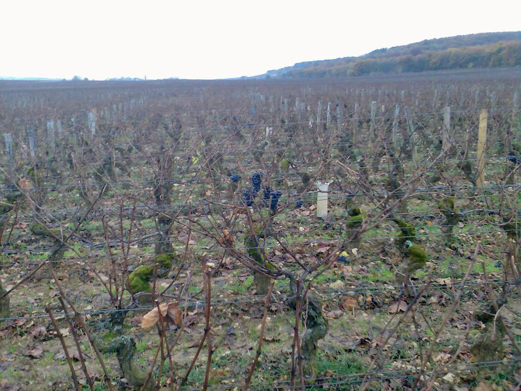 Clos de Bèze, raisins esseulés sur vieux ceps moussus...