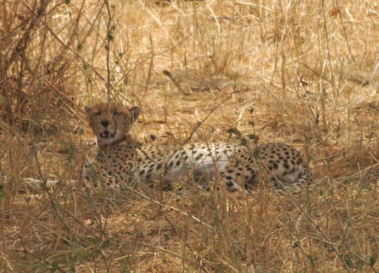 Highlight of the animal observations: a cheetah resting in the shade of a tree.