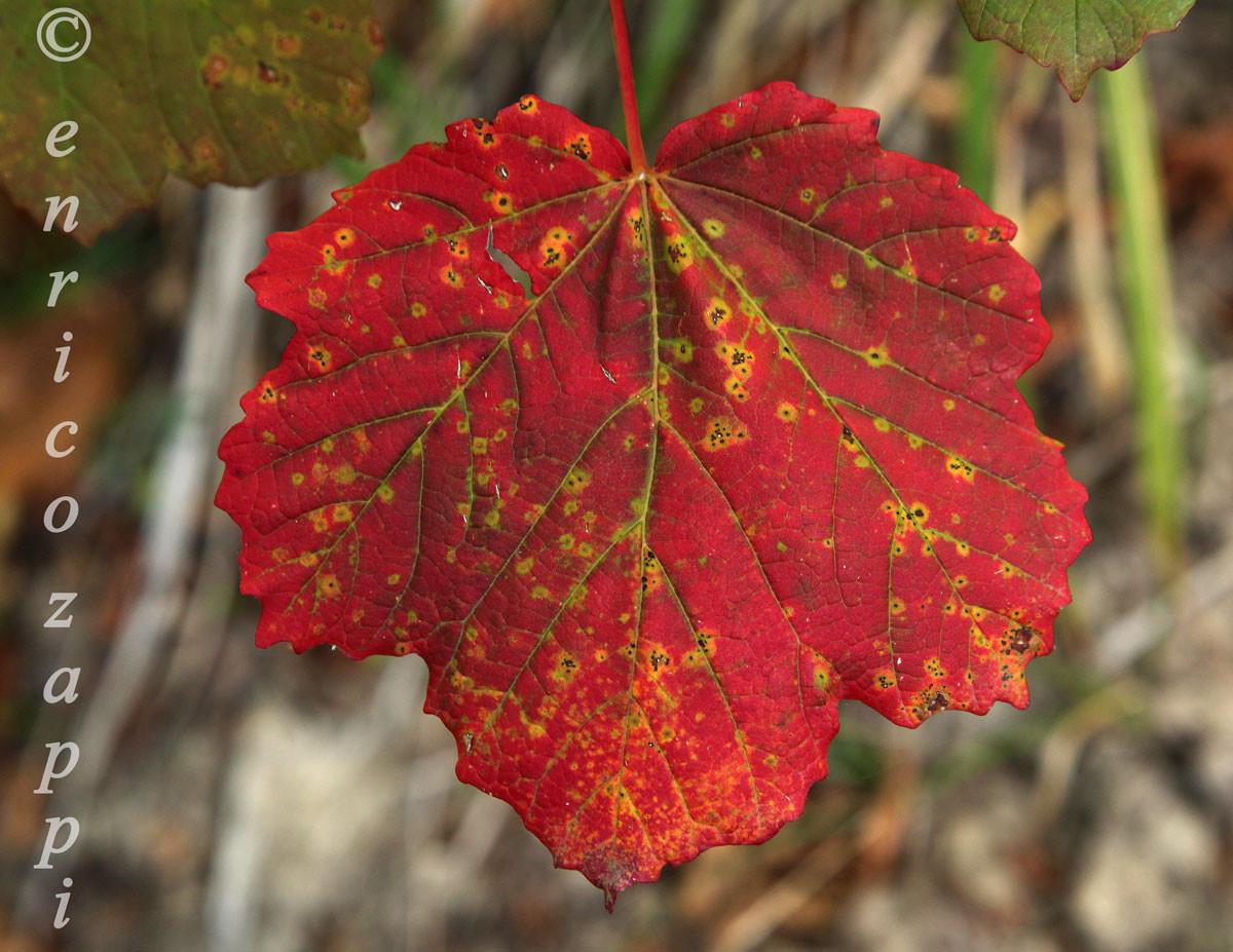 Autunno le foglie cambiano colore, pronte a cadere per formare un tappeto multicolore